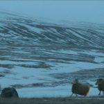 Rams, storia di due fratelli e di otto pecore: il mondo sospeso e rurale della gelida Islanda
